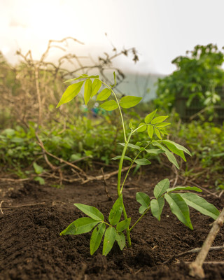 Flor de Caña plants 50,000 trees every year since 2005.